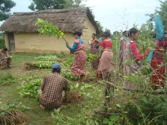 Tharu women working in Fodder Field