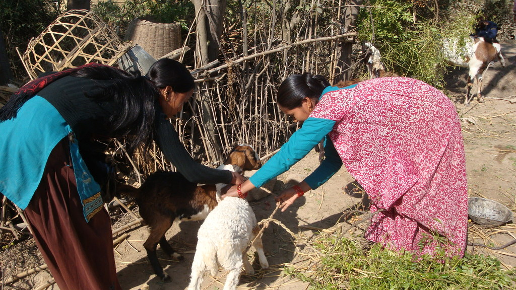Field staff checking weight and health of the goat
