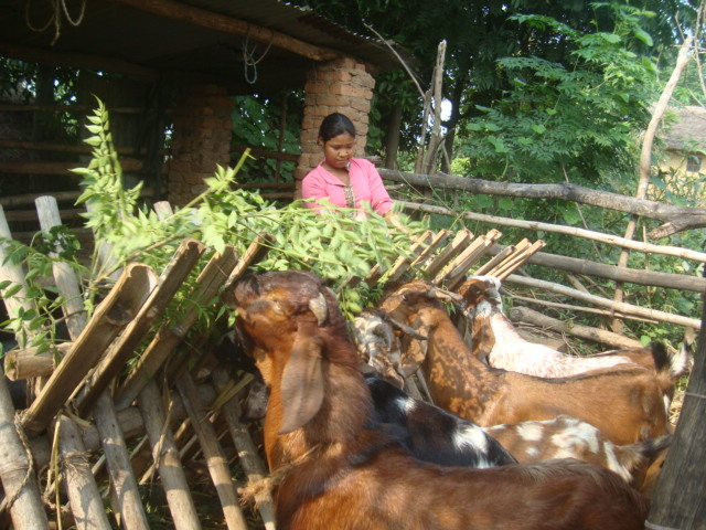 Building a future: Sita taking care of her goats