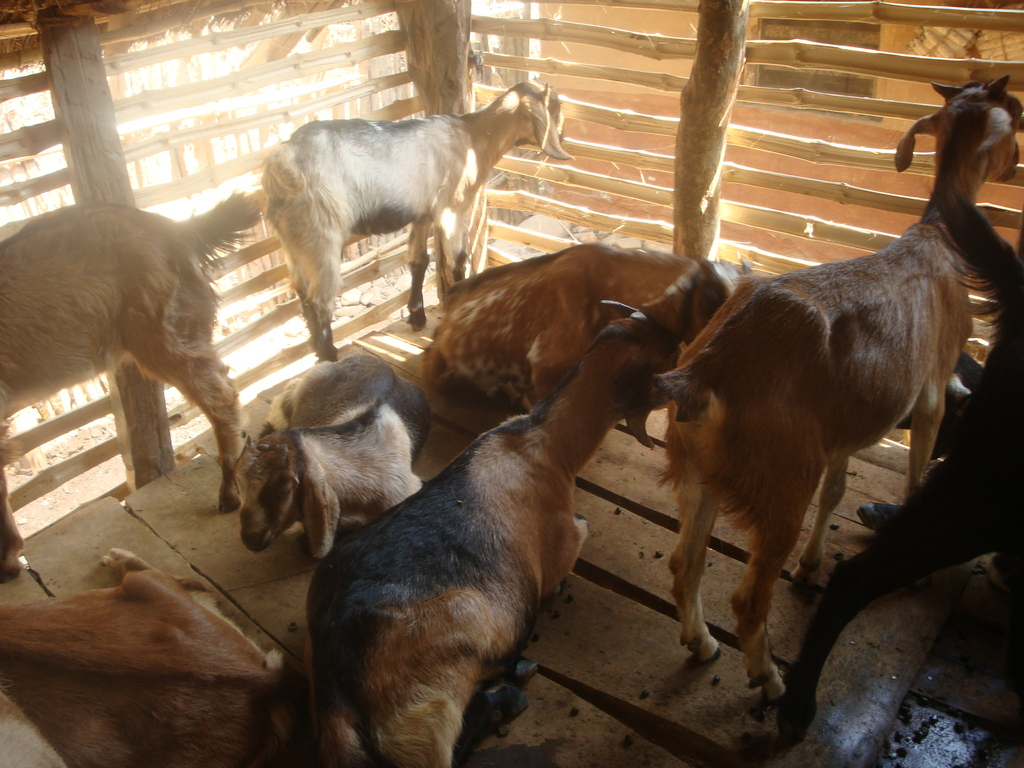 Goats inside the Shed