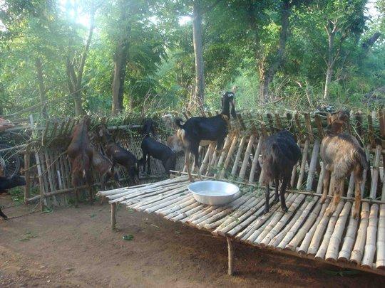 Goat rearing under Gift Program