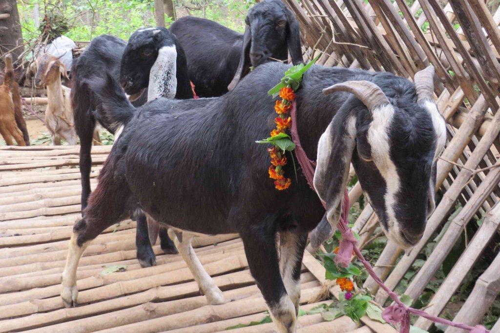 Goat Rearing in progress