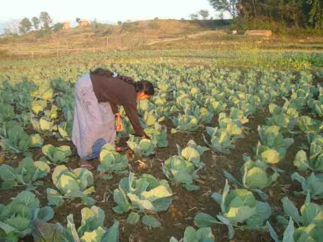 Women working at her vegetable fields