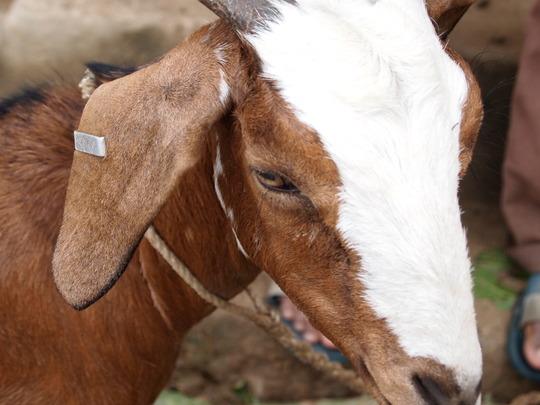 Goat donated for livelihood program