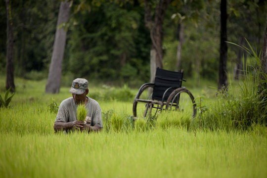 Cambodian amputee harvesting his rice crop