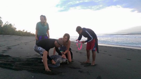 Volunteers working with an Olive Ridley sea turtle