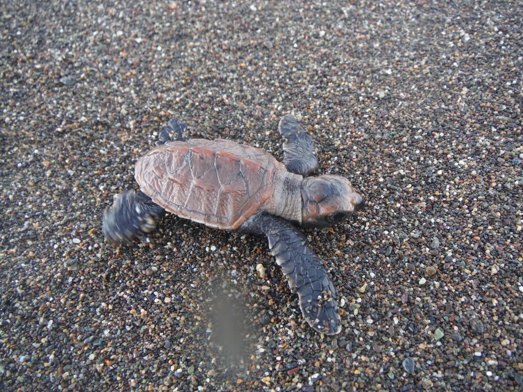 Baby Hawksbill turtles!