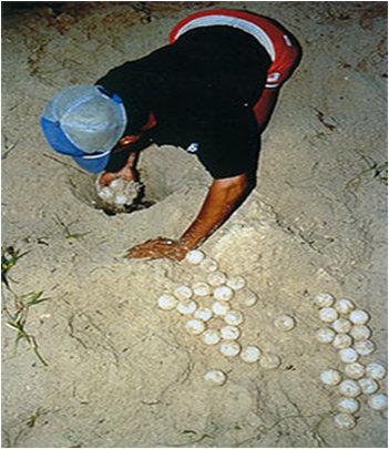 An egg poacher at work