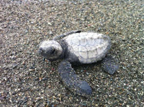 A baby Olive Ridley turtle on Rio Oro beach