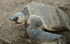 An Olive Ridley turtle nesting