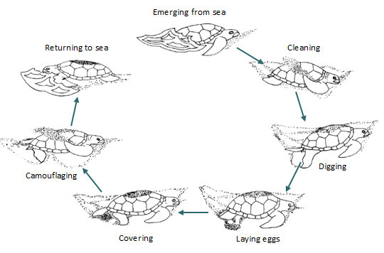 The nesting process of sea turtles