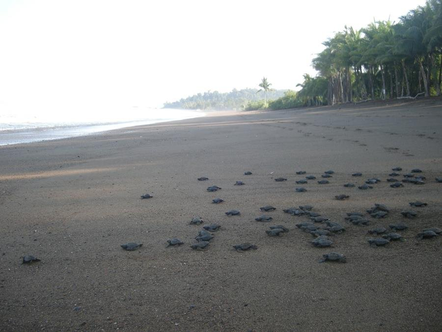 A nest of baby turtles being liberated