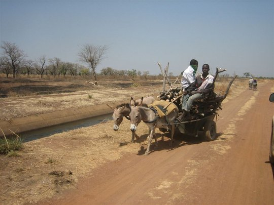 Working donkeys in Ghana