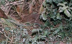 Rat's burrow at the agricultural field