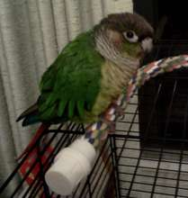 Sweetpea, a recently-adopted Greencheek Conure