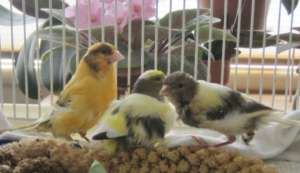 Canary flock: Mom, Dad and Baby