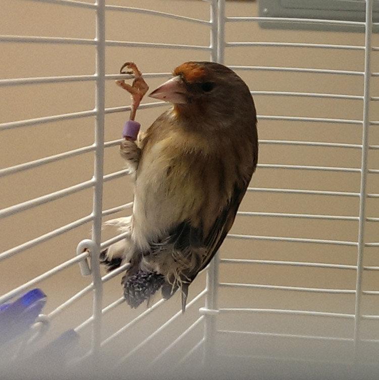 Woody, goldfinch