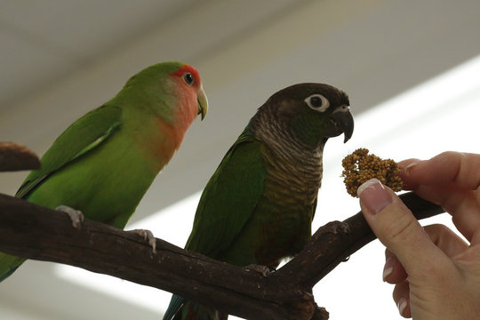 Lovebird and Green Cheek Conure Friends
