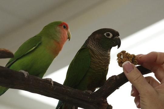 Lovebird and Green Cheek Conure Friends