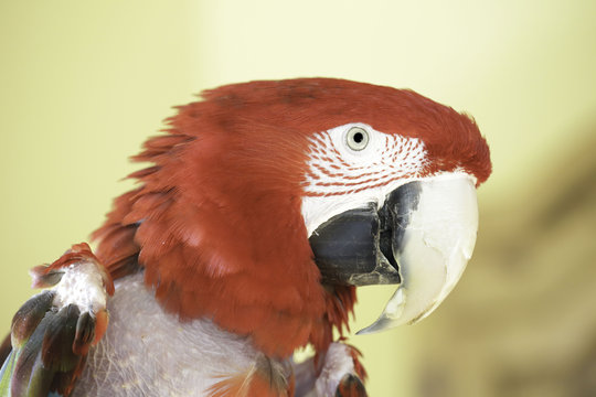 Baby, a Greenwing Macaw