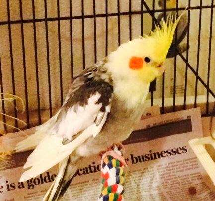 Bernie, a cockatiel with arthritic symptoms