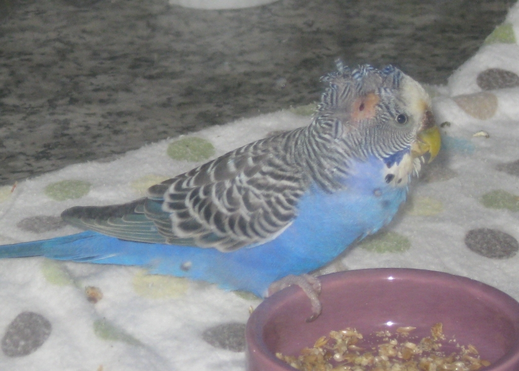 "Bluebelle, a car-struck budgie, ""before"""