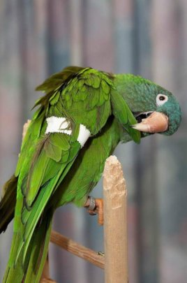 Coco - blue crown conure with Angel Wing