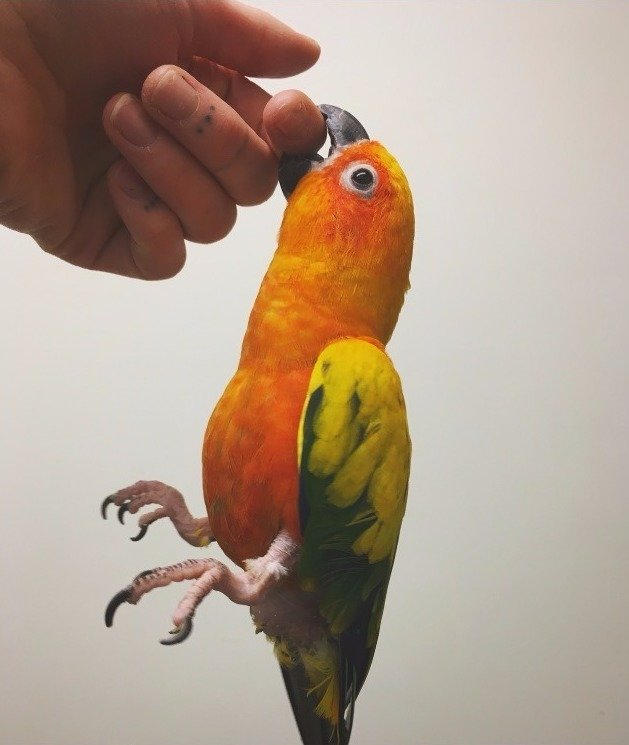 "Fiji, a Sun Conure, ""hanging around"""