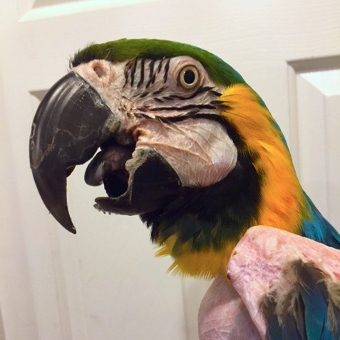 Goldie, 29-year-young Blue & Gold Macaw