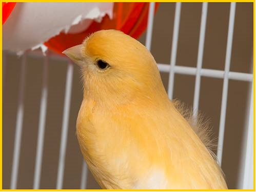 Izzy the Canary - looking good now!