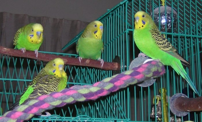 Part 2 of the Budgie Gang