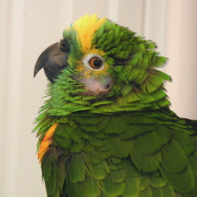 Louie, a blue-fronted amazon