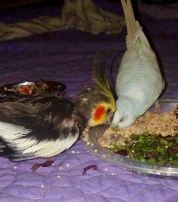 Merona (cockatiel) with his budgie friend