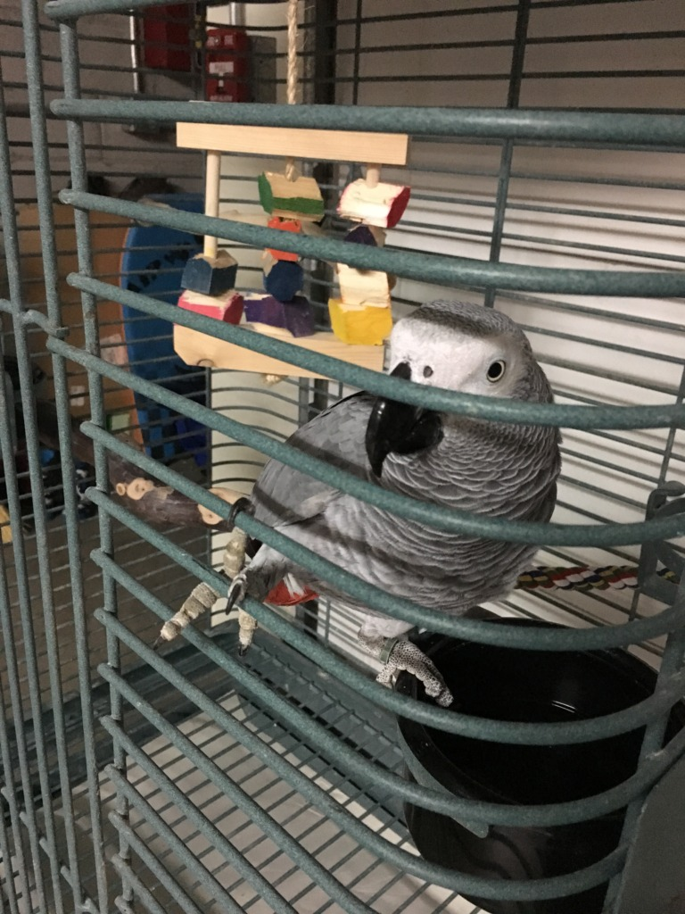 Yolo Grey in new home cage
