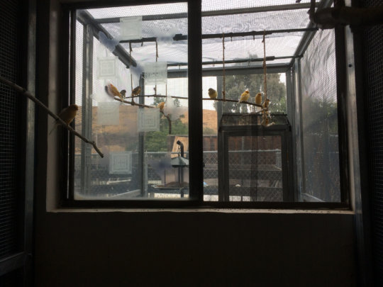 New canary aviary - showing indoor/outdoor parts