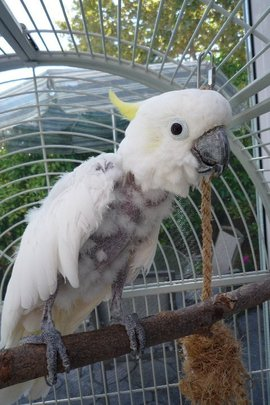 Jackie, a Sulphur Crested Cockatoo