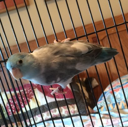 Parrotlet surrendered by shelter, 8/2016