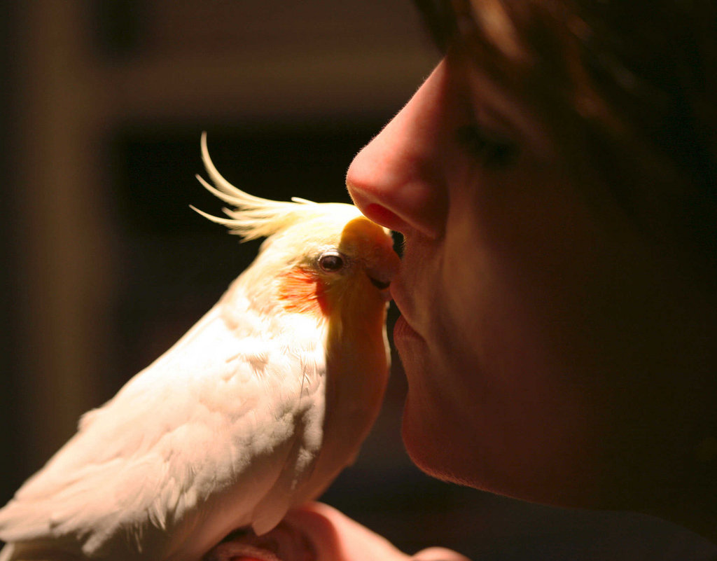 Tammy, one of the co-founders of Mickaboo, showing her love for Mick - one of the two cockatiels who inspired the founding and naming of Mickaboo Companion Bird Rescue.  Mick passed away shortly after this picture was taken.