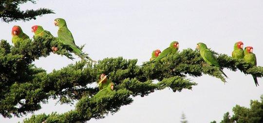The Wild Flock of Telegraph Hill