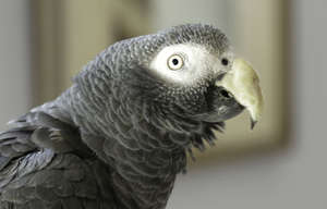 African Grey with Beak Cast