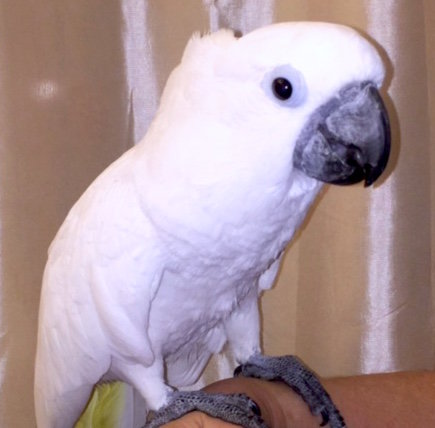 Willie, a prolapsing Umbrella Cockatoo