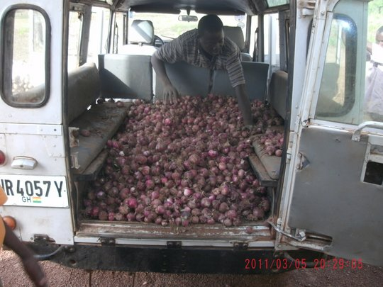 Successful Harvest of Onions P1