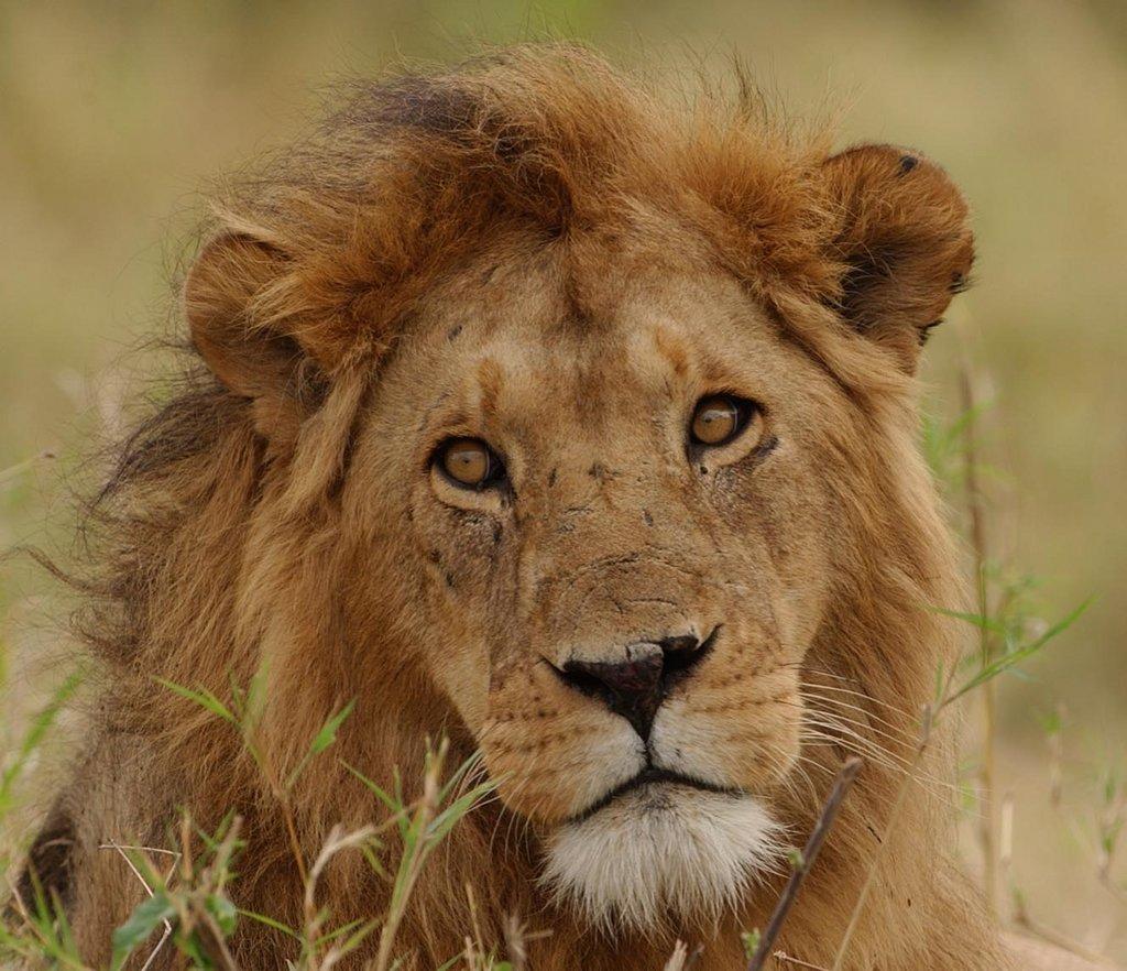 Sub-Saharan Lion Conservation Project