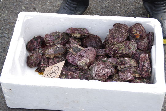 Box full of Abalone
