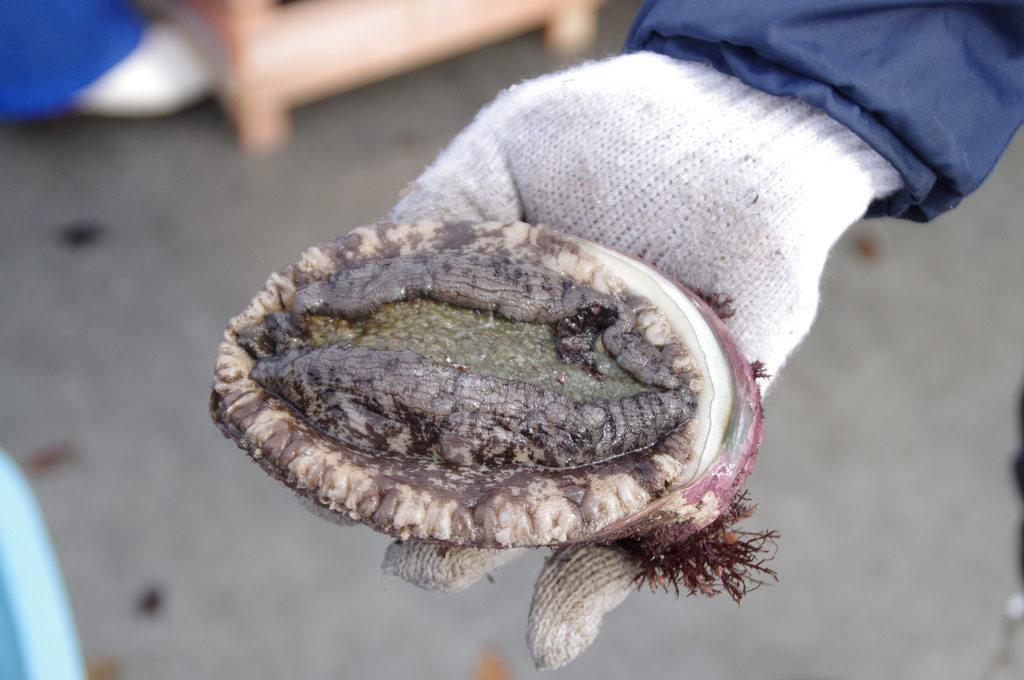 Fresh harvested Abalone!