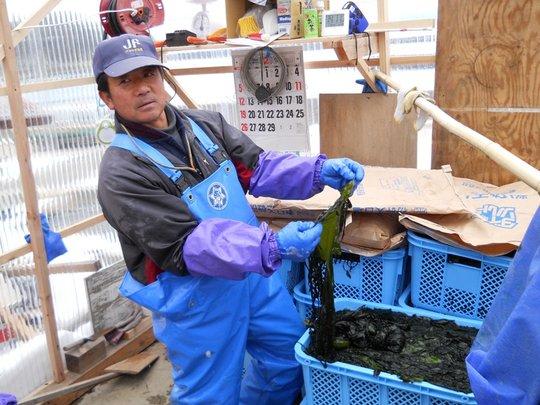 Seaweed farmer processing harvest.