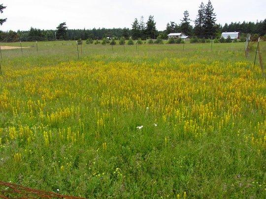 Golden paintbrush - Endangered in Washington state