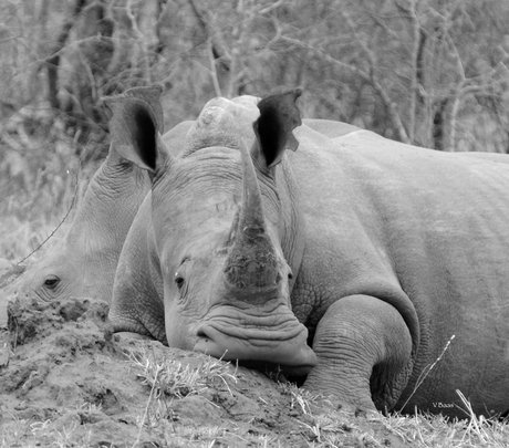 We are raising money to dehorn rhinos in S.Africa