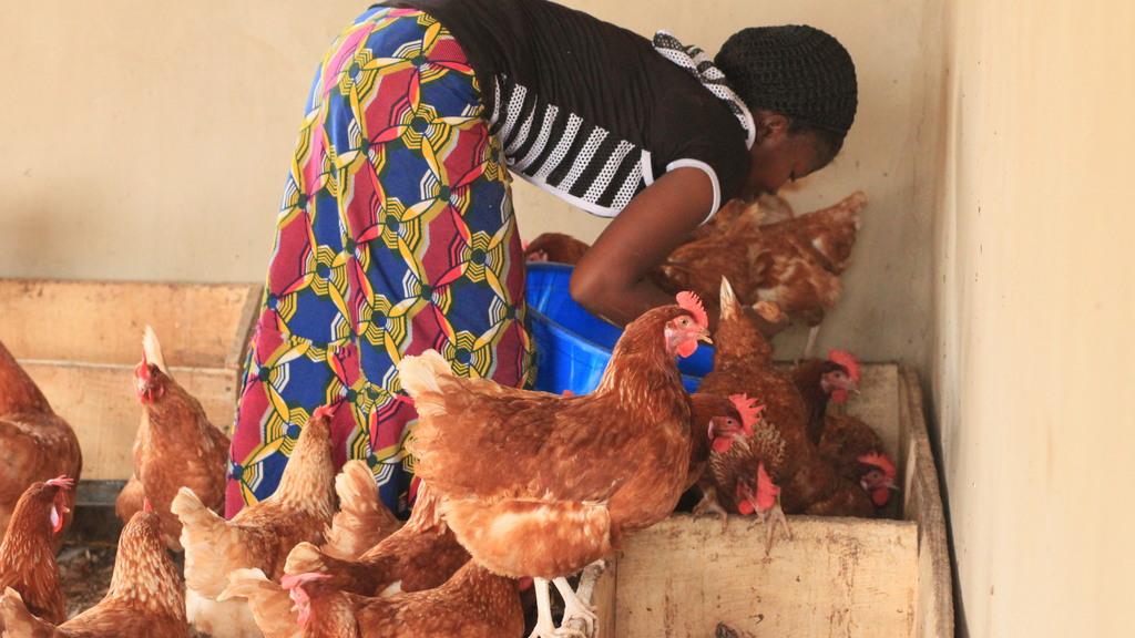 Poultry Farm Feeding
