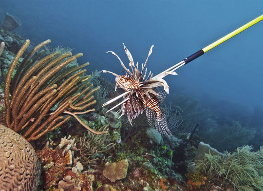 Hawaiian sling technique to capture lionfish